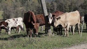 母牛在草甸在秋天吃草 影视素材