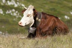 母牛在草甸睡觉了 免版税库存照片