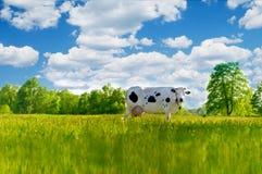 母牛在草甸 在域的母牛 库存照片