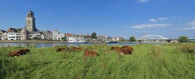 母牛在草甸 图库摄影