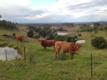母牛在草甸 库存图片