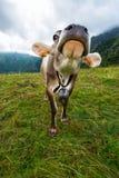 母牛在草甸 免版税库存照片