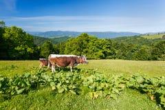 母牛在草甸 库存照片
