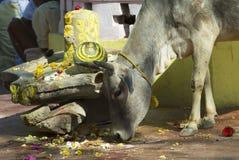 母牛在街市奥拉奇哈,印度寻找食物 免版税库存照片