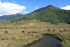 母牛在谷的一条小河附近吃草Phojika (不丹) 免版税库存照片