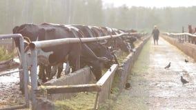 母牛在谷仓早晨 股票视频
