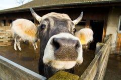 母牛在谷仓,农场嘴  库存图片