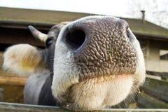 母牛在谷仓,农场嘴  免版税库存照片