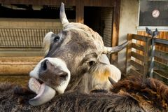 母牛在谷仓,农场嘴  免版税库存图片