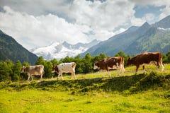 母牛在阿尔卑斯 免版税库存图片