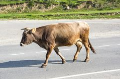 母牛在高加索山脉的Baksan峡谷在俄罗斯 库存图片
