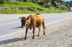 母牛在高加索山脉的Baksan峡谷在俄罗斯 免版税库存照片
