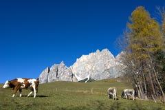 母牛在高度的牧场地在秋天 库存照片
