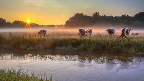母牛在Dinkel河河岸的草甸日出的 免版税图库摄影