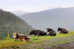 母牛在Omalo村庄 Tusheti地区(乔治亚) 免版税库存图片