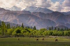 母牛在Shey宫殿前面筑成池塘在Leh拉达克 免版税库存图片