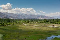 母牛在Shey宫殿前面筑成池塘在Leh拉达克 库存图片