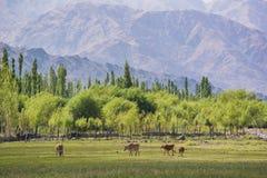 母牛在Shey宫殿前面筑成池塘在Leh拉达克 免版税库存照片