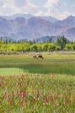 母牛在Shey宫殿前面筑成池塘在Leh拉达克 图库摄影