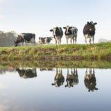 母牛在zeist附近的一个草甸在荷兰 免版税库存照片