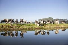 母牛在zeist附近的一个草甸在荷兰 免版税库存图片