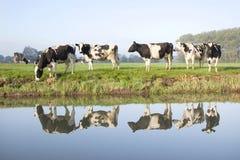 母牛在zeist附近的一个草甸在荷兰 库存照片