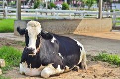 母牛坐地面在农场 免版税库存照片