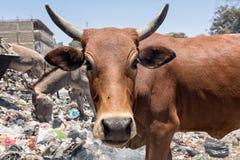 母牛垃圾堆 免版税图库摄影