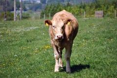 母牛域泽西 免版税图库摄影