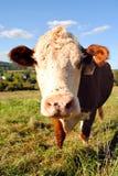 母牛域 免版税库存图片