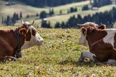 母牛夫妇 库存图片