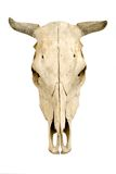 母牛头盖骨s 库存照片