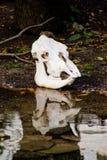 母牛头骨 库存图片
