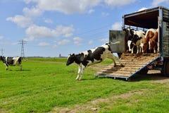 母牛奔跑在家畜运输以后的草甸 库存照片