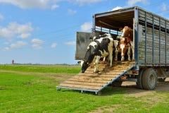 母牛奔跑在家畜运输以后的草甸 免版税库存照片