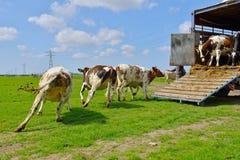 母牛奔跑在家畜运输以后的草甸 库存图片