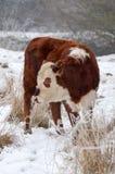 母牛女性 库存图片