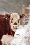 母牛女性 免版税库存照片