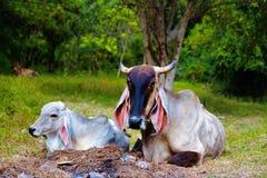 母牛奶牛场兽性在泰国 库存图片