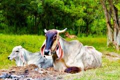 母牛奶牛场兽性在泰国 免版税库存照片