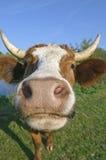母牛好奇牛奶店 免版税图库摄影