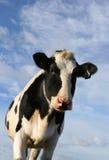 母牛好奇黑白花牛查找 免版税库存图片