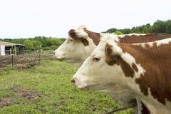 母牛孪生 库存照片