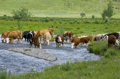 母牛宠物在一个饮水池的河的 图库摄影