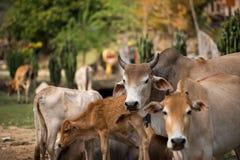 母牛家庭 图库摄影