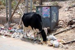 母牛寻找食物 免版税库存图片