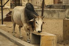 母牛封牛吃着香蕉,印度 免版税库存图片