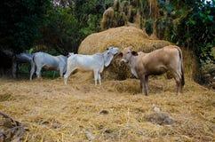母牛小山部落动物 免版税库存照片