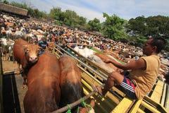 母牛市场 库存图片