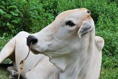 母牛情感 图库摄影